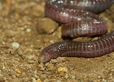 Mediterranean Worm Lizard (Blanus cinereus), Extremadura, Spain