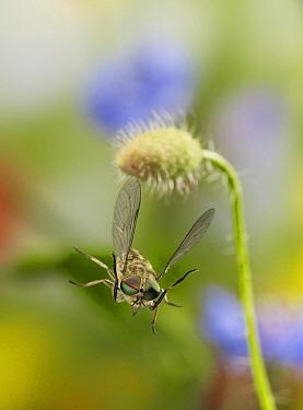 Horse Fly (Tabanus sp) taking flight, Sussex, England