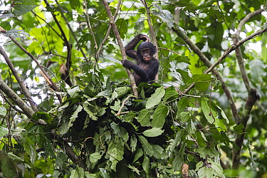 Bonobo (Pan paniscus) young in day nest, Democratic Republic of the Congo