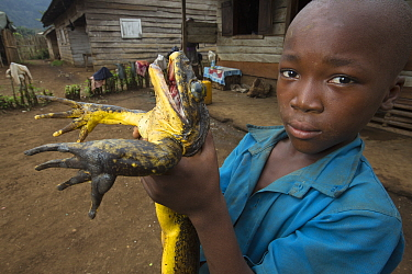 Goliath Frog (Conraua goliath) endangered species hunted for food, Cameroon
