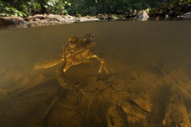 Goliath Frog (Conraua goliath) in river, endangered, Cameroon