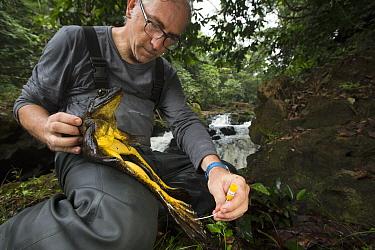 Goliath Frog (Conraua goliath) biologist Claude Miaud swabbing skin to determine presence of chytrid fungus, endangered, Cameroon
