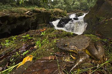 Goliath Frog (Conraua goliath) near river, endangered, Cameroon