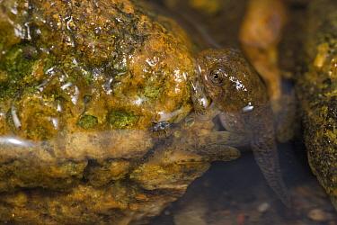 Goliath Frog (Conraua goliath) froglet, endangered, Cameroon
