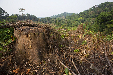 Rainforest clear cut for oil palm plantation, Cameroon