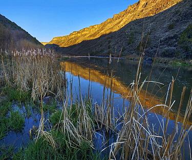 Common Cattail (Typha latifolia) along the Rio Grande, Rio Grande del Norte National Monument, New Mexico