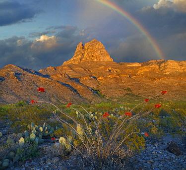 Ocotillo (Fouquieria splendens) with rainbow Gobbler Knob formation, Sacramento Mountains, Lincoln,New Mexico