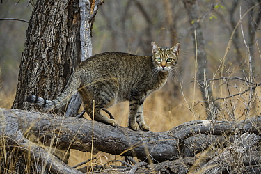 African Wild Cat (Felis lybica), semi-domesticated individual, Limpopo, South Africa