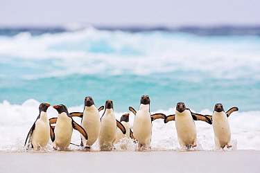 Rockhopper Penguin (Eudyptes chrysocome) group coming ashore, Falkland Islands