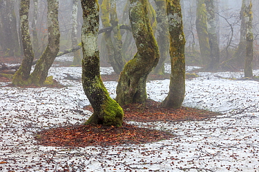 European Beech (Fagus sylvatica) forest with hoarfrost, Vosges, Alsace, France