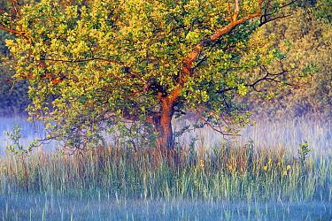 Oak (Quercus sp) tree in morning mist, Netherlands