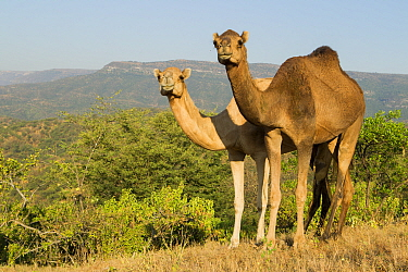 Dromedary (Camelus dromedarius) camels in deciduous cloud forest, Dhofar Mountains, Oman