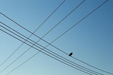 Fan-tailed Raven (Corvus rhipidurus) on powerline, Salalah, Oman