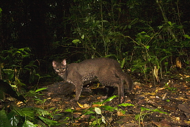 African Golden Cat (Caracal aurata) grey morph male in rainforest, Kibale National Park, western Uganda