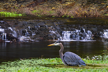 Great Blue Heron (Ardea herodias) in lagoon, Point Reyes National Seashore, California