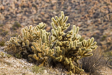 Teddy Bear Cholla (Cylindropuntia bigelovii) cactus in desert, Blue Angels Peak, Sierra de Juarez, Colorado Desert, Sonoran Desert, California