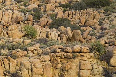 Soaptree Yucca (Yucca elata) in boulders in desert, Blue Angels Peak, Sierra de Juarez, Colorado Desert, Sonoran Desert, California