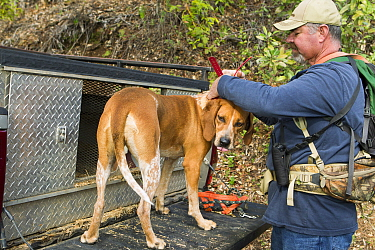 Redtick Coonhound (Canis familiaris) being fitted with tracking collar by houndsman, Troy Collinsworth, during attempt to re-collar a male puma, Santa Cruz Puma Project, Santa Cruz Mountains, Californ...