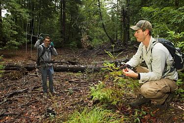 Mountain Lion (Puma concolor) biologists, Sean McCain and Dolan Dillon, using telemetry to track male, Santa Cruz Puma Project, Santa Cruz Mountains, California