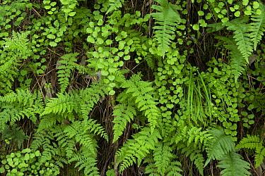 Common Maidenhair Fern (Adiantum aethiopicum), Rock Polypody (Polypodium calirhiza), and Lady Fern (Athyrium filix-femina), Bouverie Preserve, Glen Ellen, California