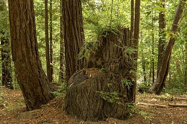 Coast Redwood (Sequoia sempervirens) stump with new growth, Santa Cruz Mountains, California