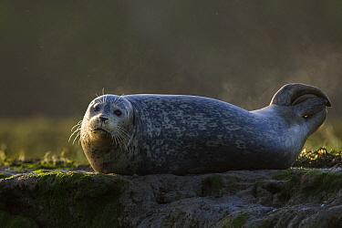 Harbor Seal (Phoca vitulina) steaming as sun hits its wet body, Elkhorn Slough, Monterey Bay, California