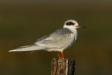 Forster's Tern (Sterna forsteri), Elkhorn Slough, Monterey Bay, California