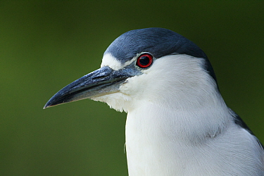 Black-crowned Night Heron (Nycticorax nycticorax), Santa Cruz, Monterey Bay, California