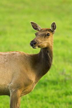 Tule Elk (Cervus elaphus nannodes) female, Point Reyes National Seashore, California