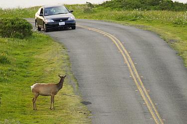 Tule Elk (Cervus elaphus nannodes) female watching car approaching on road, Point Reyes National Seashore, California