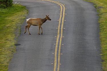 Tule Elk (Cervus elaphus nannodes) female crossing road, Point Reyes National Seashore, California