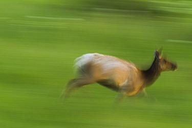 Tule Elk (Cervus elaphus nannodes) female running, Point Reyes National Seashore, California