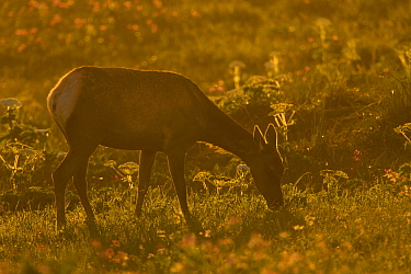 Tule Elk (Cervus elaphus nannodes) female grazing at sunset, Point Reyes National Seashore, California