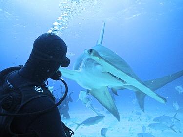 Great Hammerhead Shark (Sphyrna mokarran) and diver, Bimini, Bahamas, Caribbean