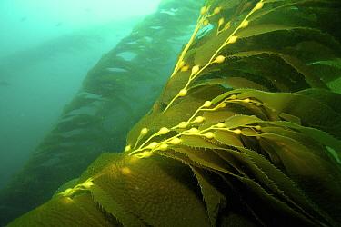 Giant Kelp (Macrocystis pyrifera) bulbs, California