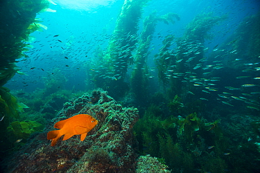 Garibaldi (Hypsypops rubicundus) and Pacific Jack Mackerel (Trachurus symmetricus) school in Giant Kelp (Macrocystis pyrifera) forest, Catalina Island, California