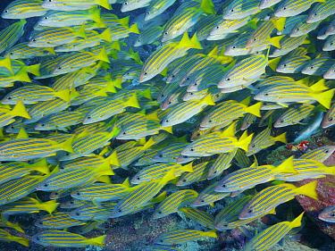 Blue-and-gold Snapper (Lutjanus viridis) school, Cocos Island National Park, Costa Rica