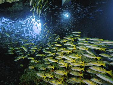 Blue-and-gold Snapper (Lutjanus viridis) school in underwater arch, Cocos Island National Park, Costa Rica