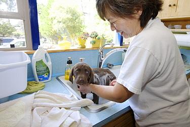 Chocolate Labrador Retriever (Canis familiaris) puppy being bathed, Monterey, California
