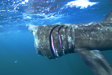 Basking Shark (Cetorhinus maximus) filter feeding, Inner Hebrides, Scotland