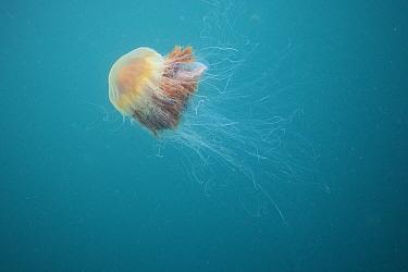 Lion's Mane (Cyanea capillata) jellyfish, Inner Hebrides, Scotland