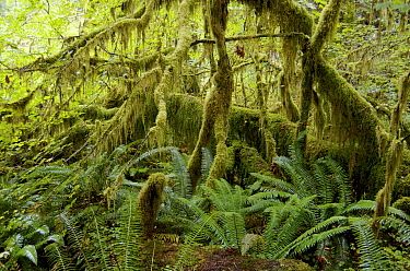 Temperate rainforest, Hoh Rainforest, Olympic National Park, Washington