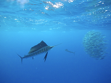 Atlantic Sailfish (Istiophorus albicans) pair hunting Round Sardinella (Sardinella aurita) school, Isla Mujeres, Mexico