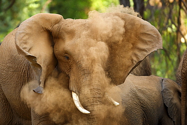 African Elephant (Loxodonta africana) dust bathing, Kruger National Park, South Africa