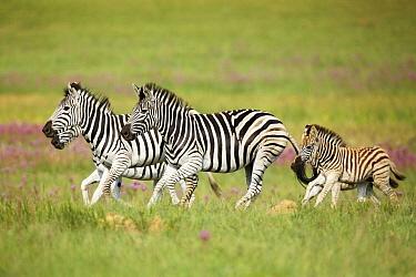Burchell's Zebra (Equus burchellii) females and foals running, Rietvlei Nature Reserve, South Africa