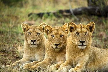 African Lion (Panthera leo) cubs, Kruger National Park, South Africa