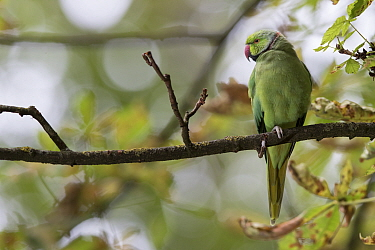 Rose-ringed Parakeet (Psittacula krameri), Paris, France