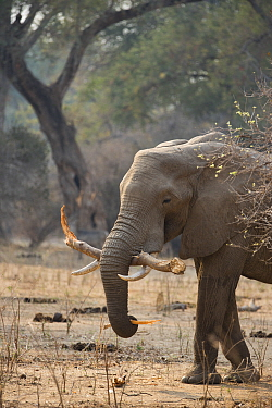 African Elephant (Loxodonta africana) feeding on bark, Mana Pools National Park, Zimbabwe