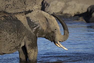 African Elephant (Loxodonta africana) bathing by spraying water on its back, Hwange National Park, Zimbabwe