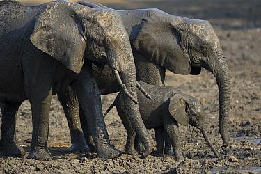 African Elephant (Loxodonta africana) females and calf at waterhole, Mana Pools National Park, Zimbabwe